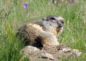 Marmotte du Parc de la Vanoise