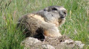 Marmotte du Parc national de la Vanoise