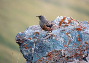 Oiseau dans le Parc de la Vanoise